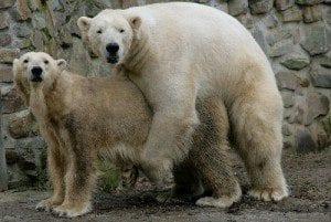 Parende ijsberen