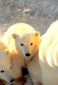 Baby-ijsberen