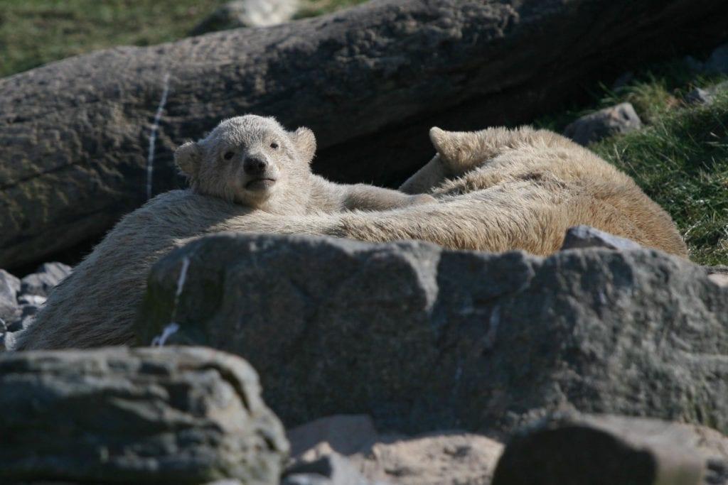 IJsberen in Blijdorp