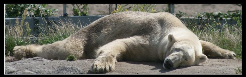 Verhitte ijsbeer