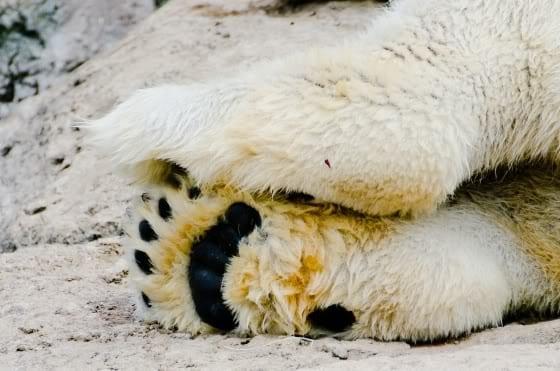 Poten van een ijsbeer