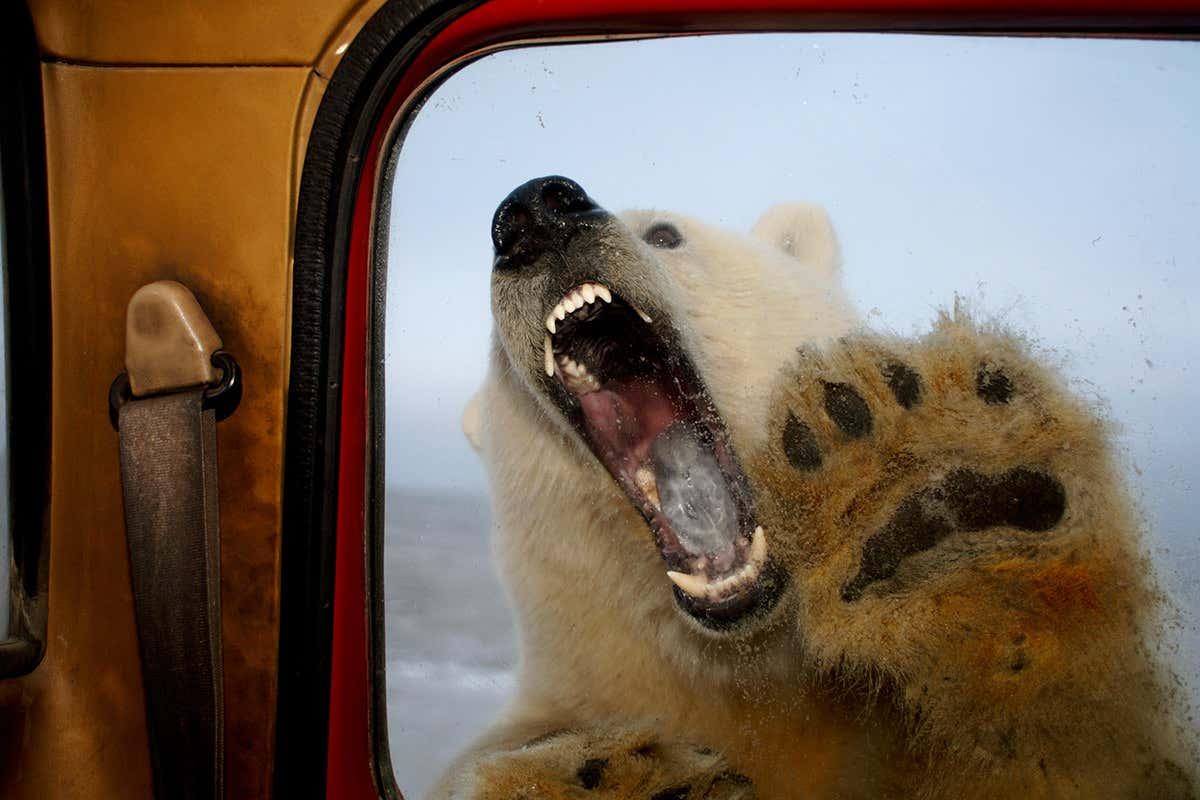 IJsbeer met open bek bij auto