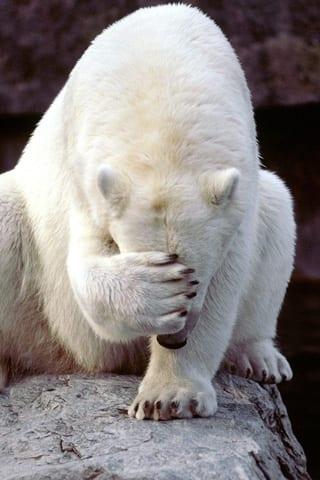 Bedekt de ijsbeer zijn neus of is hij verlegen?