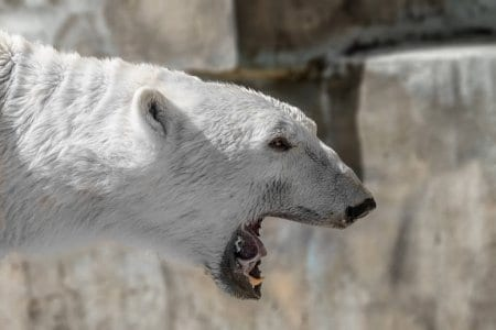 Nek van een ijsbeer
