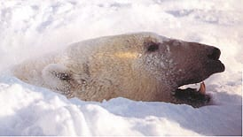 IJsbeer in de sneeuw
